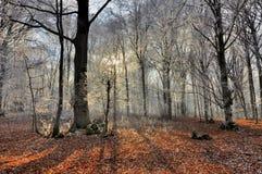 Raggi del sole e delle ombre nella foresta di inverno Immagini Stock