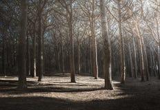 Raggi della foresta o del pino del pino di luce marittimi La Toscana,  Fotografia Stock