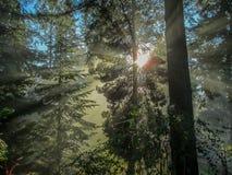 Raggi di luce solare attraverso i sempreverdi 1 Fotografie Stock