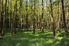 Raggi di luce solare di mattina nella foresta Fotografia Stock