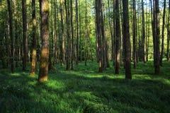 Raggi di luce solare di mattina nella foresta Fotografie Stock