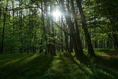 Raggi di luce solare di mattina nella foresta Immagini Stock Libere da Diritti