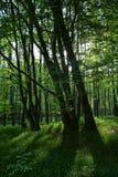 Raggi di luce solare di mattina nella foresta Immagine Stock Libera da Diritti