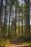 Raggi di sole che filtrano attraverso il fogliame della foresta nell'isola di Vancouver, Canada fotografie stock