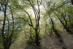Raggi di sole nel legno Fotografia Stock