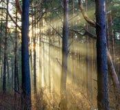 Raggi di Sun attraverso foschia in foresta Fotografie Stock