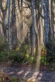 Raggi di Sun attraverso la foresta della costa ovest in nebbia Fotografia Stock