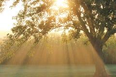 Raggi di Sun attraverso un albero e un campo di grano Immagine Stock