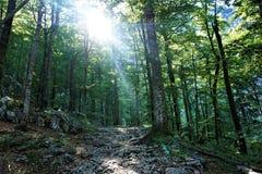 Raggi di Sun che cadono nel parco nazionale di Triglav della foresta Immagine Stock