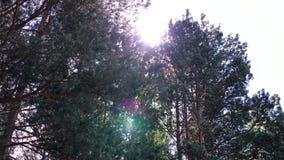 Raggi di Sun in clip della foresta Riflessione dei primi raggi del sole in corone nebbiose di una foresta degli alberi nella fore archivi video