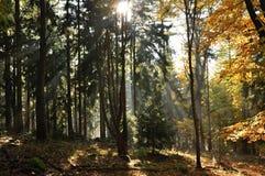 Raggi di Sun nella foresta Fotografia Stock Libera da Diritti