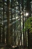 Raggi di Sun nella foresta Fotografie Stock Libere da Diritti