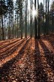Raggi di Sun nella foresta di autunno Immagini Stock
