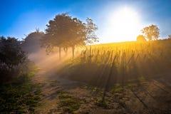 Raggi di Sun nella vista della vigna della nebbia di mattina Immagini Stock