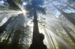 Raggi di Sun in sequoie, CA Immagini Stock