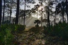 Raggi di The Sun tagliati attraverso gli alberi e la nebbia di mattina Immagine Stock