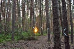 Raggi di Sun tramite i pini Immagine Stock Libera da Diritti