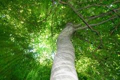 Raggi di Sun tramite le foglie verdi dell'albero Fotografia Stock