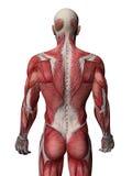 Raggi X umani del muscolo illustrazione di stock
