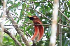 Free Raggiana Bird-of-paradise Royalty Free Stock Photo - 101300575