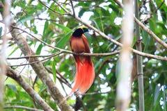 Raggiana Bird-of-paradise. Paradisaea raggiana in Varirata National Park, Papua New Guinea Royalty Free Stock Photography