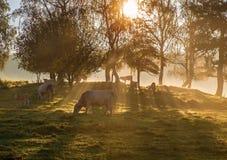 Raggio in anticipo del sole dei mornigs sulle mucche Fotografie Stock Libere da Diritti