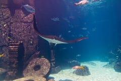 Raggio di Manta in acquario Immagine Stock