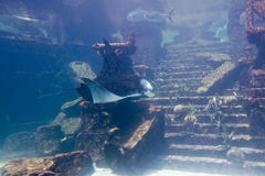 Raggio di Manta in acquario Fotografie Stock