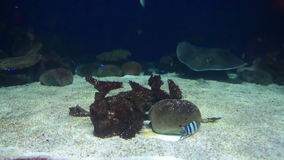 Raggio di Manta che galleggia underwater archivi video