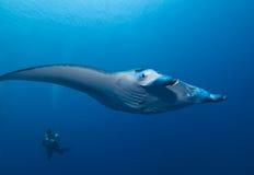 Raggio di Manta ed operatore subacqueo di SCUBA Immagine Stock