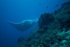 Raggio di manta gigante Fotografia Stock