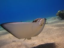 Raggio di Manta in Mar Rosso Fotografie Stock Libere da Diritti