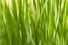 Raggiro ecologycal e sano del fondo di verde dell'estratto dell'erba delle sfuocature fotografia stock