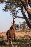 Raggiungimento dell'elefante Fotografia Stock Libera da Diritti