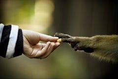 Raggiungimento delle mani dell'essere umano e della scimmia Fotografia Stock Libera da Diritti