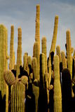 Raggruppamento del cactus del Saguaro Fotografia Stock Libera da Diritti