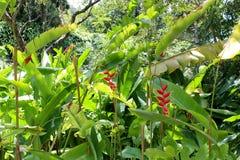 Raggruppamento del hawaiano Flora Haleconia Flower Plant in riva del nord tropicale Oahu, le Hawai Immagine Stock