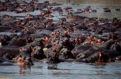 Raggruppamento dell'ippopotamo Immagini Stock