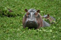 Raggruppamento dell'ippopotamo Fotografia Stock Libera da Diritti