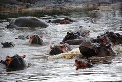 Raggruppamento dell'ippopotamo Fotografie Stock