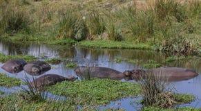 Raggruppamento dell'ippopotamo nel cratere di Ngorongoro Fotografia Stock