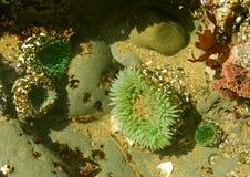 Raggruppamento di marea: anemones di mare Immagine Stock Libera da Diritti