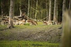 Raggruppi gli animali selvatici timidi sono nel legno e guardano l'area Caduta Fotografia Stock