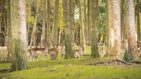 Raggruppi gli animali selvatici timidi sono nel legno e guardano l'area Caduta Fotografia Stock Libera da Diritti