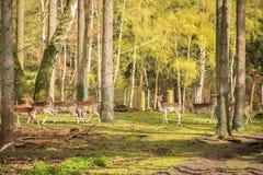 Raggruppi gli animali selvatici timidi sono nel legno e guardano l'area Caduta Immagini Stock Libere da Diritti