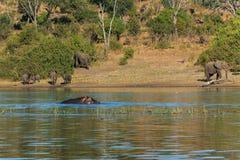 Raggruppi gli elefanti che camminano e che bevono l'ippopotamo Africa del fiume Immagini Stock