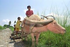 Raggruppi il ritratto dei ragazzi che guidano su un bufalo d'acqua Fotografia Stock Libera da Diritti