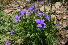 Raggruppi la viola tricolore nell'erba - una all'ombra dell'altra Fotografia Stock Libera da Diritti