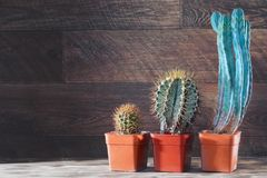 Raggruppi le dimensioni differenti dei cactus su fondo di legno d'annata scuro Copi lo spazio Immagini Stock