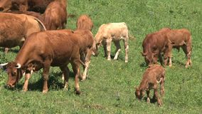 Raggruppi le mucche con le giovani mucche nelle alpi francesi, il d'Ornon del passo, Francia archivi video